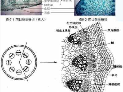 植物植物茎的横截面图 植物茎的结构及其功能的观察