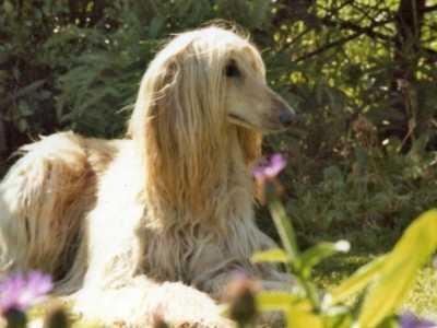 阿富汗犬图片 纯种阿富汗猎犬标准及图片